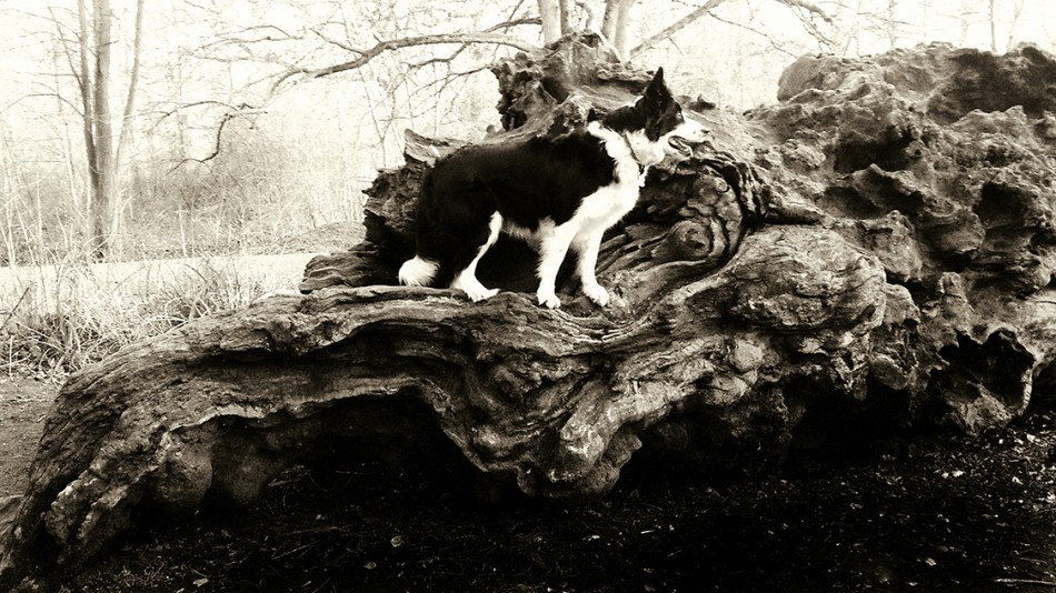 Sepia tone photo of dog in the forest
